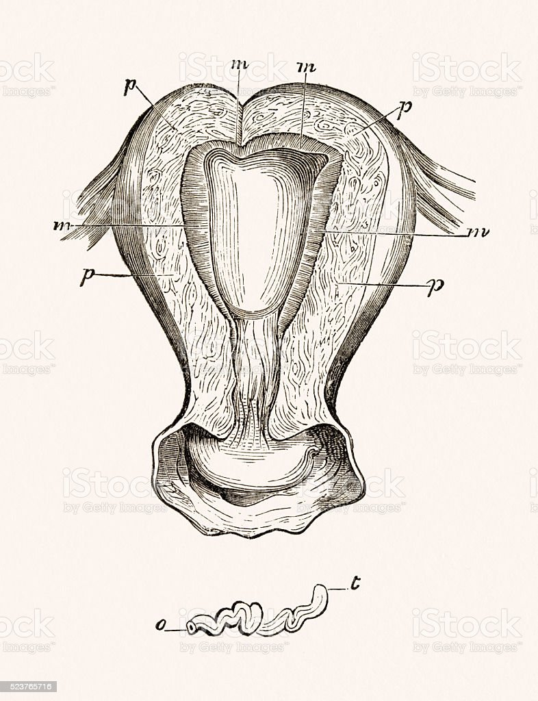 Female Uterus 19 century medical illustration vector art illustration