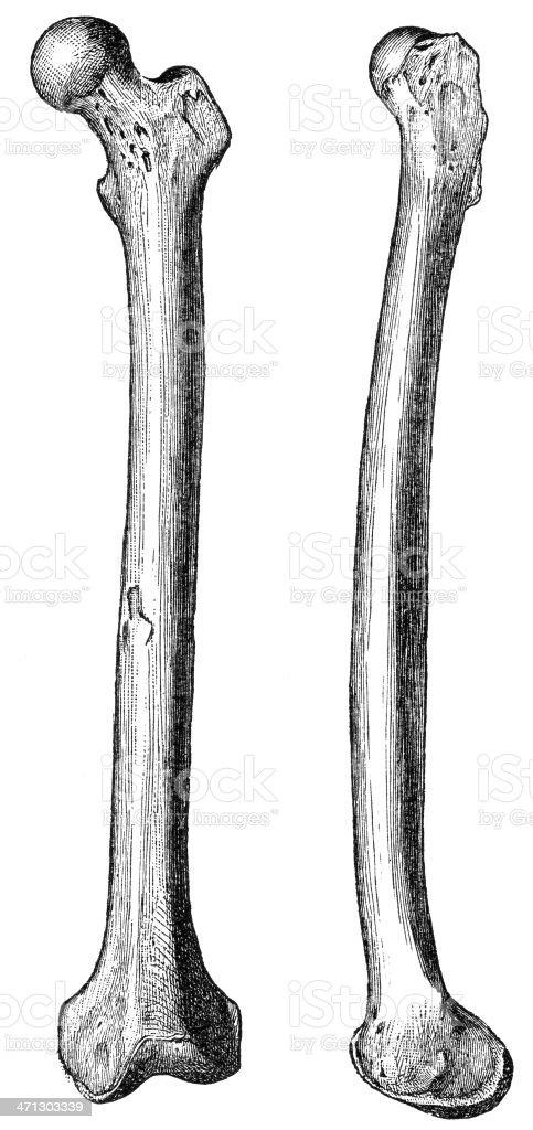 femoral bone vector art illustration