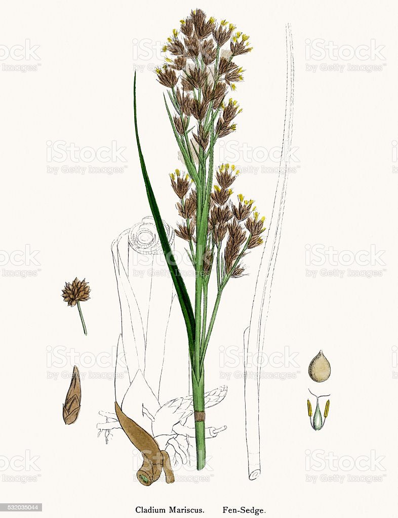 Fen sedge grass vector art illustration