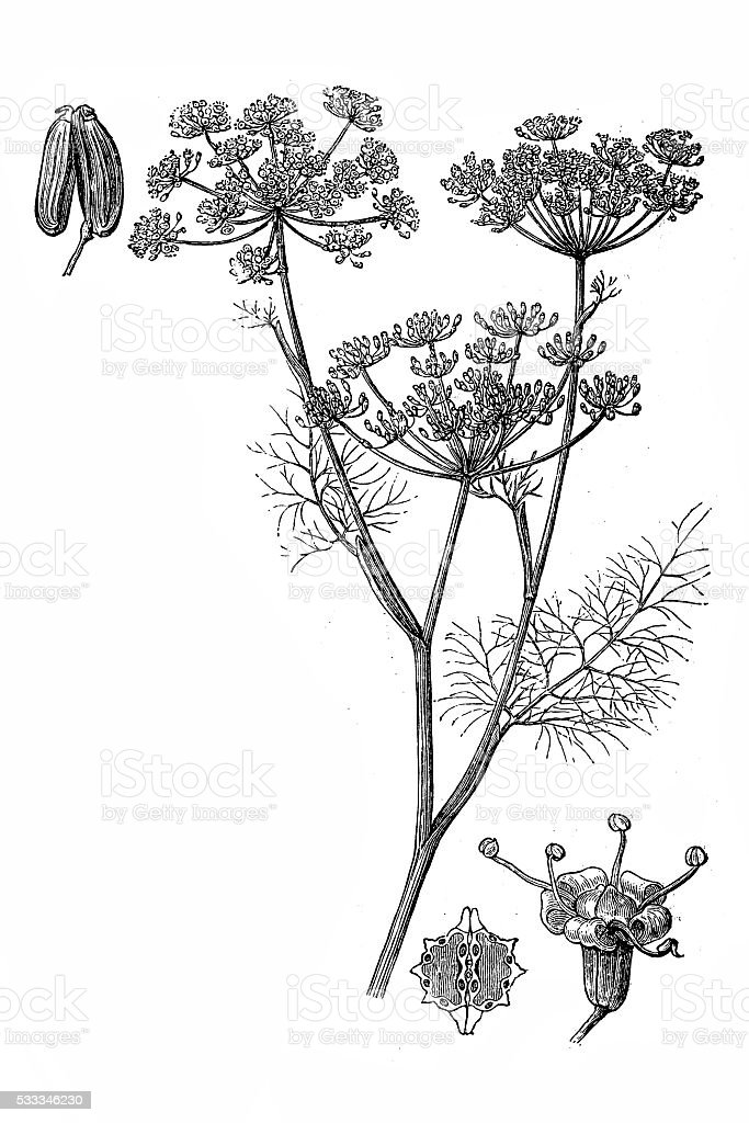 Fennel (Foeniculum vulgare) vector art illustration