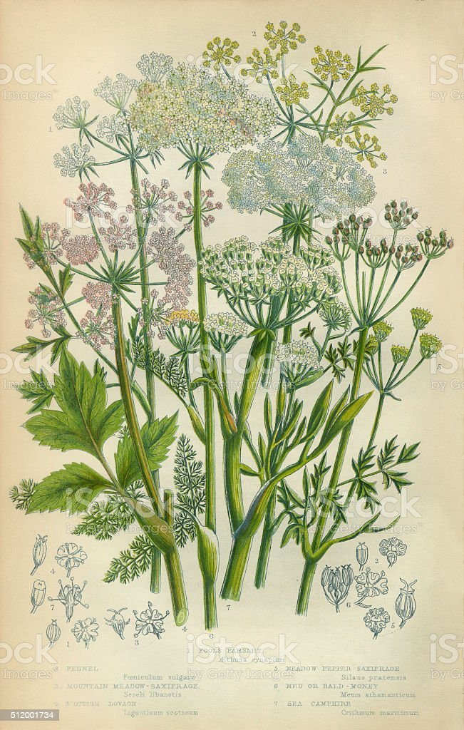 Fennel, Liquorice, Saxifrage, Baldmoney, Meum athamanticum, Camphor, stock photo