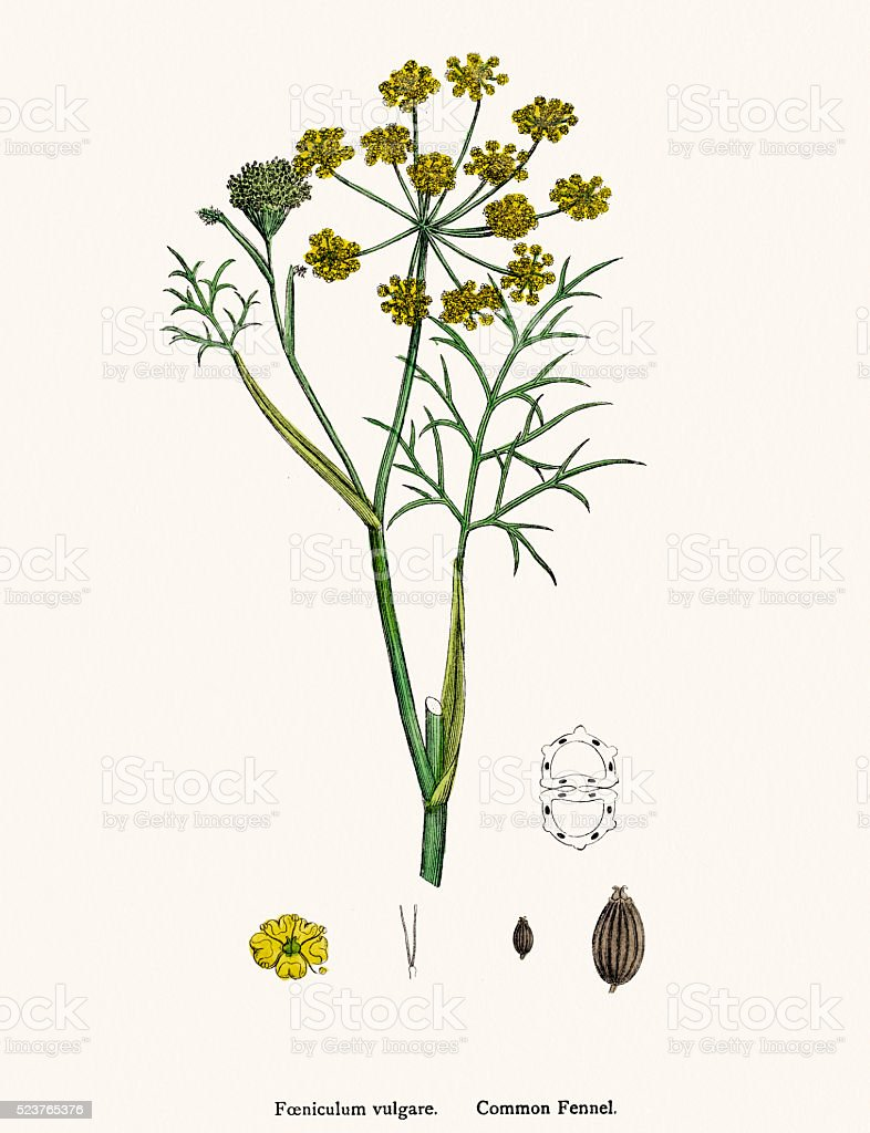 Fennel plant scientific illustration vector art illustration