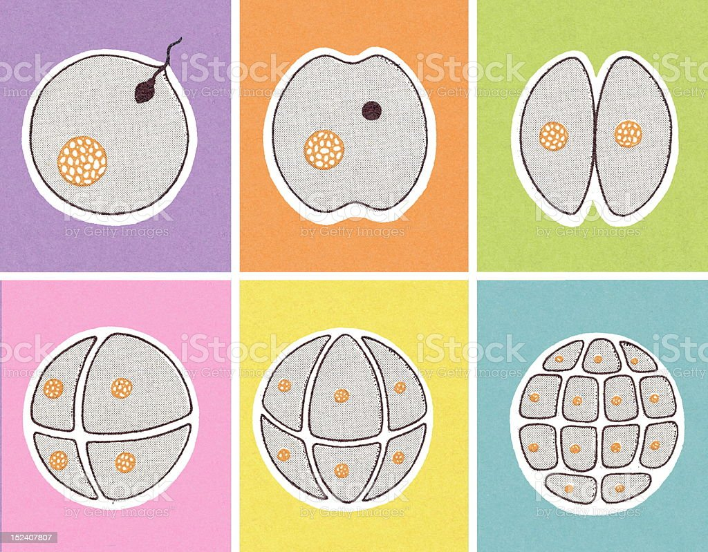 Fertilzed Egg Dividing royalty-free stock vector art