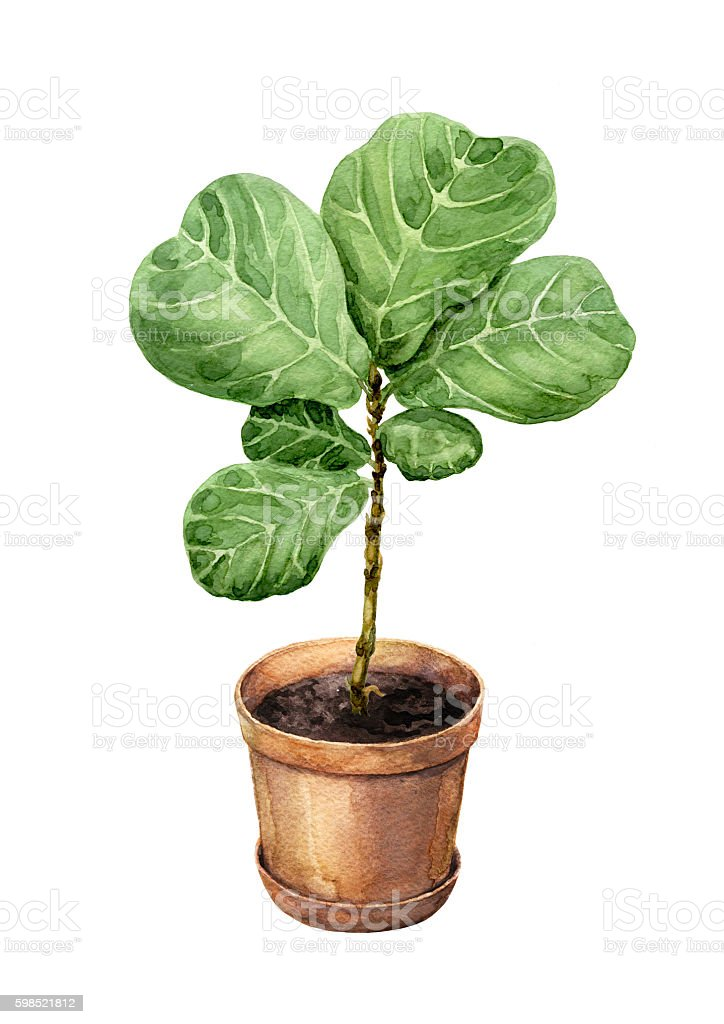 Ficus Lyre in clay flowerpot. vector art illustration