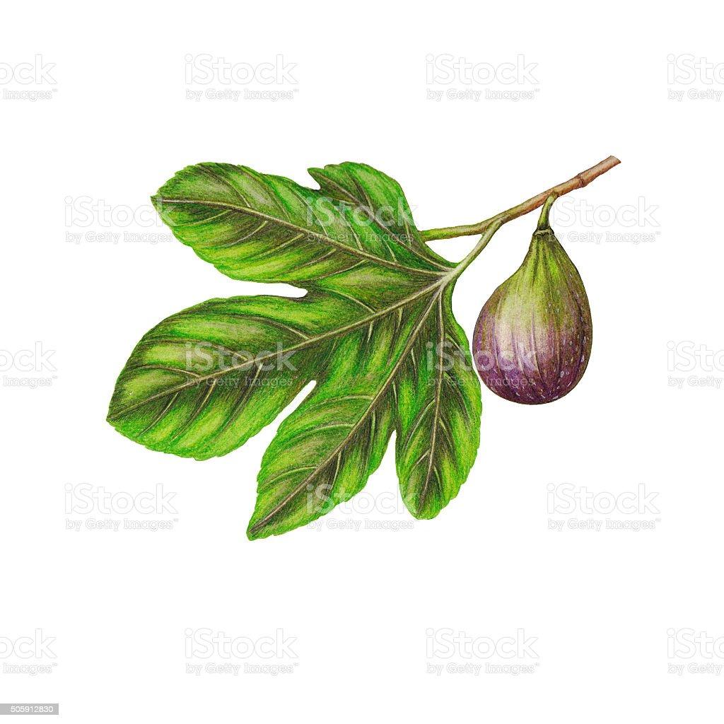 Fig branch vector art illustration