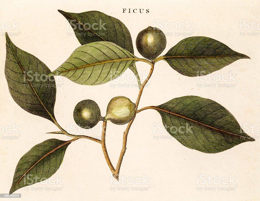 Figs, Antique 18th Century illustration vector art illustration