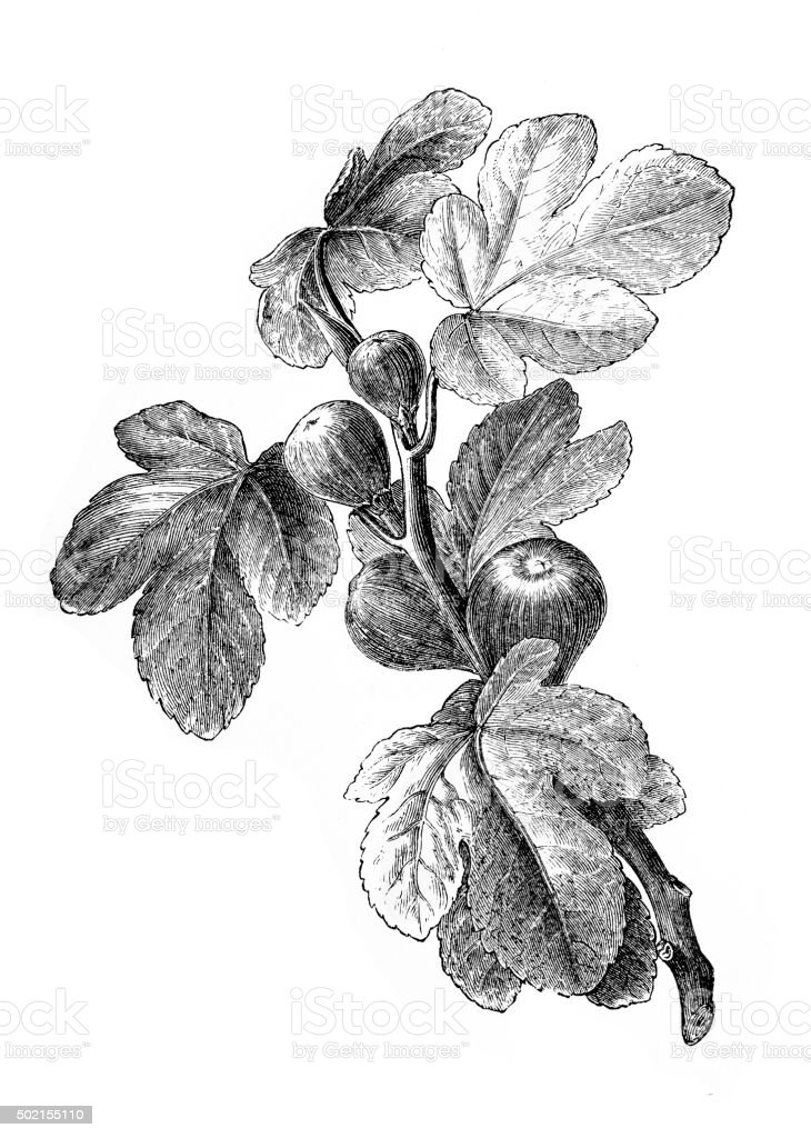 Figs | Antique Design Illustrations vector art illustration