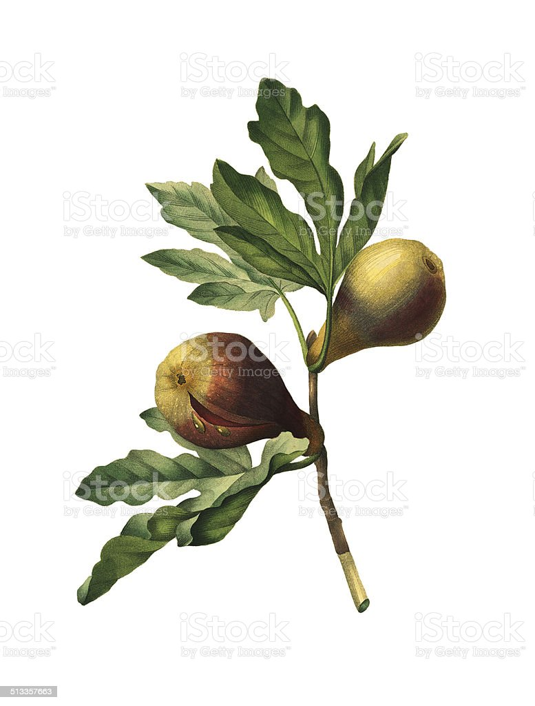 Figs | Redoute Flower Illustrations vector art illustration