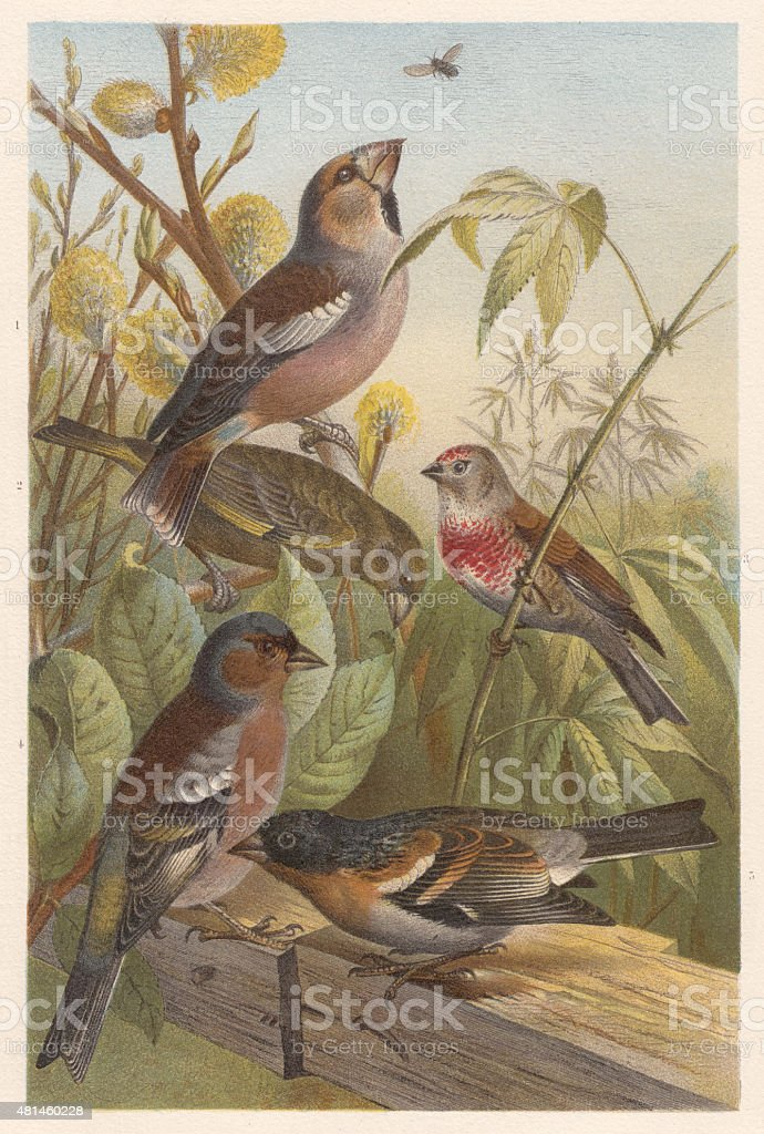 Finches (Fringillidae), lithograph, published in 1882 vector art illustration