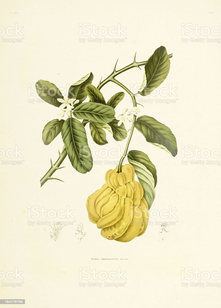 Fingered citron | Antique Plant Illustrations vector art illustration