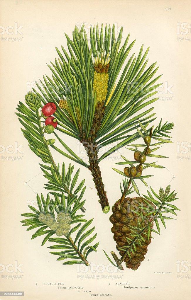 Fir, Scotch Fir, Pine, Juniper, Scotch Pine, Victorian Botanical Illustration vector art illustration