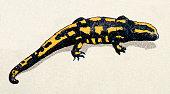 Fire salamander, reptiles animals antique illustration