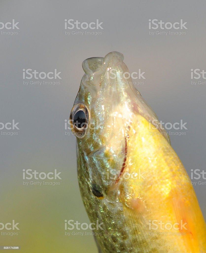 Fish Open mouth vector art illustration