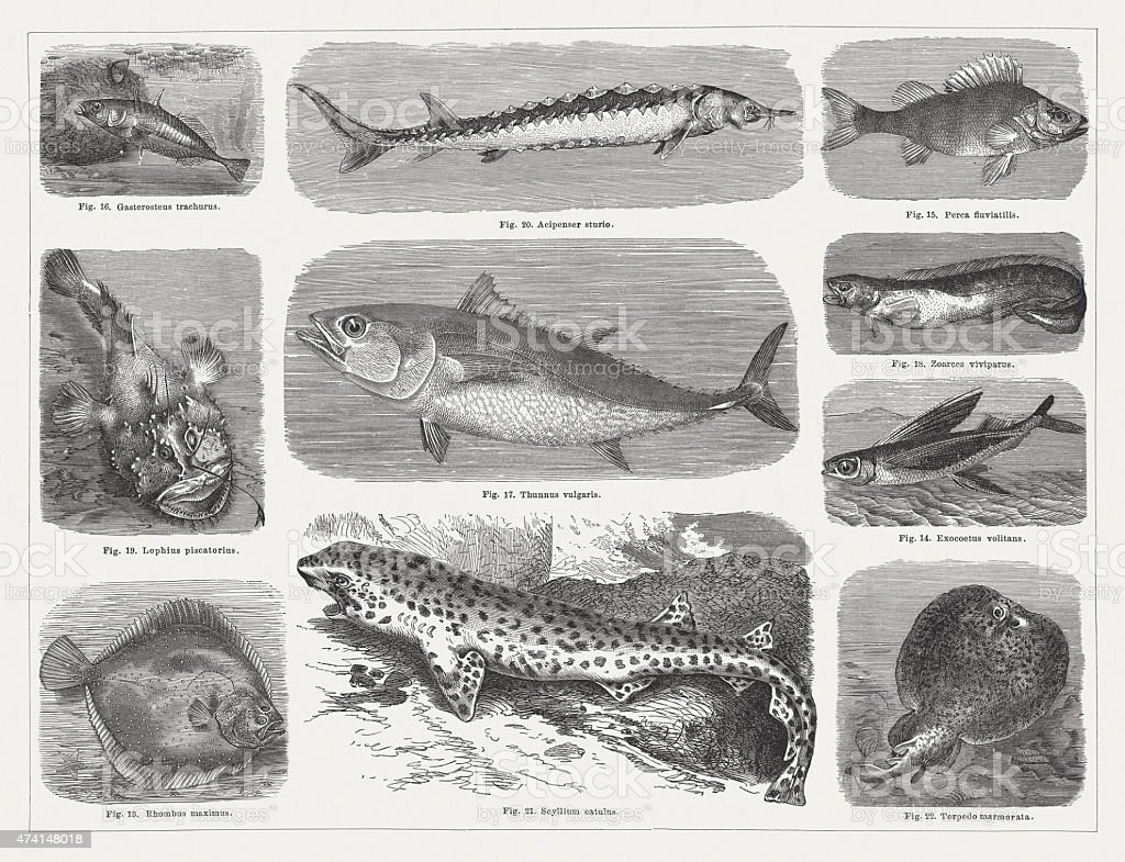 Fishes, wood engravings, published in 1875 vector art illustration