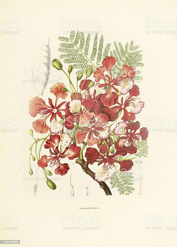 Flamboyant | Antique Plant Illustrations vector art illustration