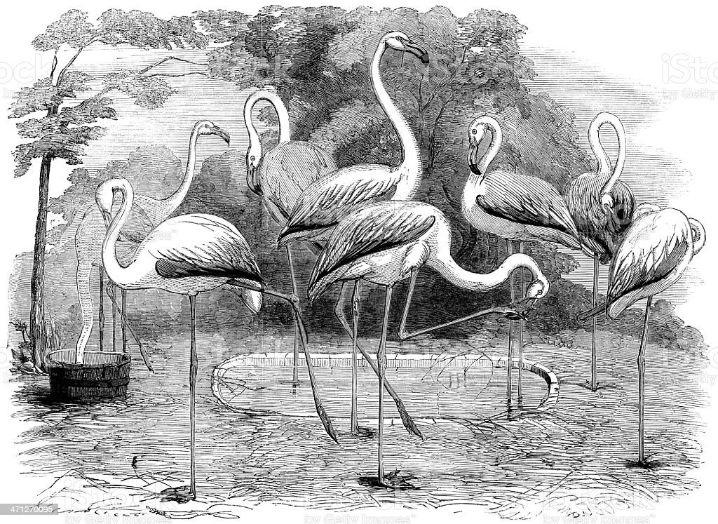Flamingos in the Zoological Society's Gardens, Illustrated London News royalty-free stock vector art