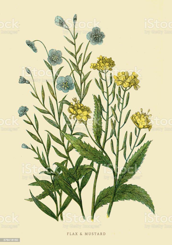 Flax and Mustard illustration 1851 vector art illustration
