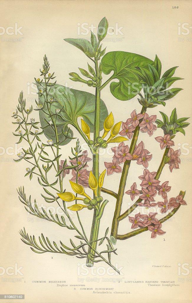 Flax, Daphne, Mezereon, Toadflax, Birthwort, Aristolochia, Clematitis, Victorian Botanical Illustration vector art illustration