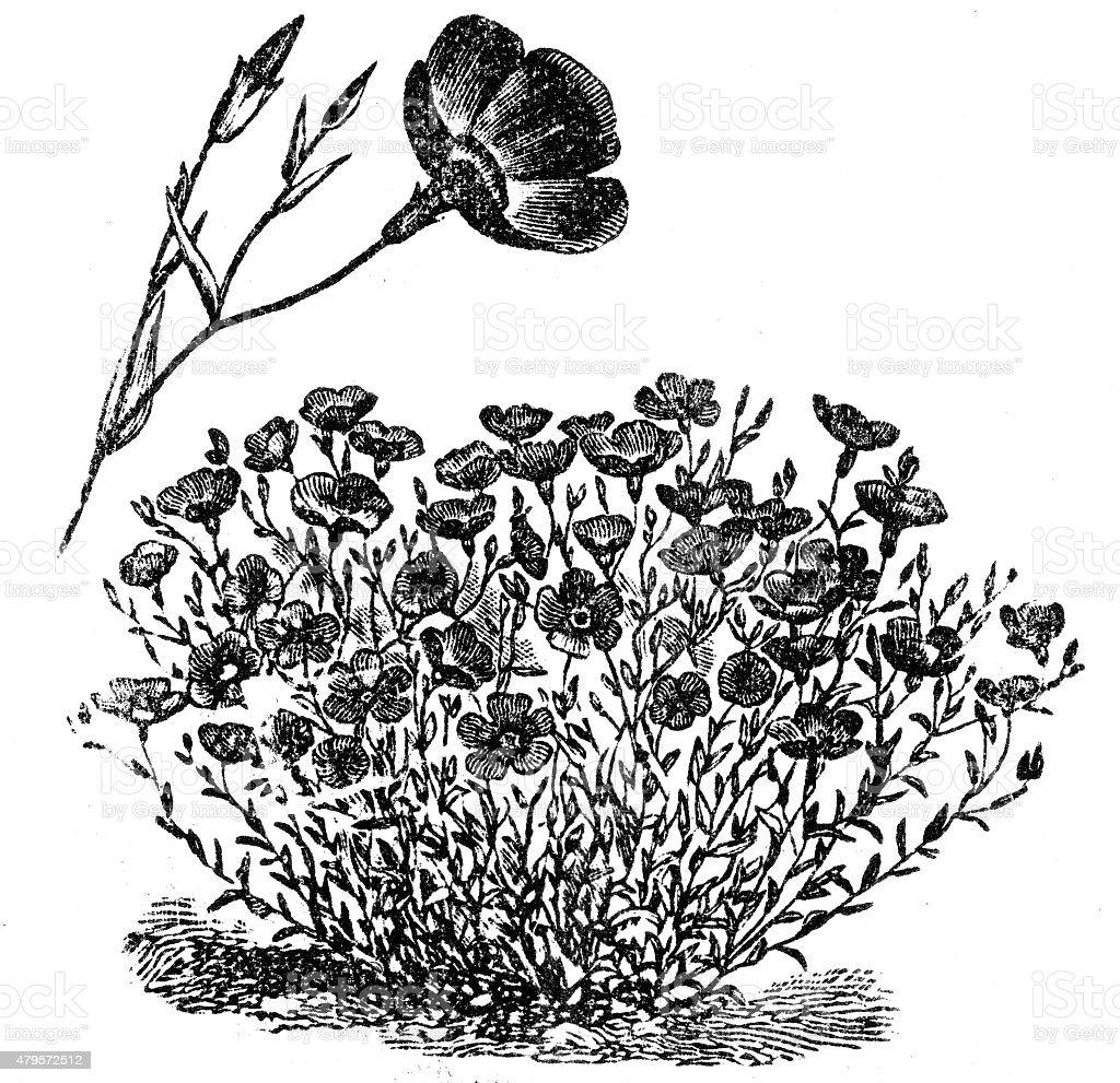 Flax or Linum vector art illustration