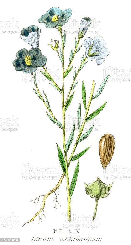 Flax plant botanical engraving 1857 vector art illustration