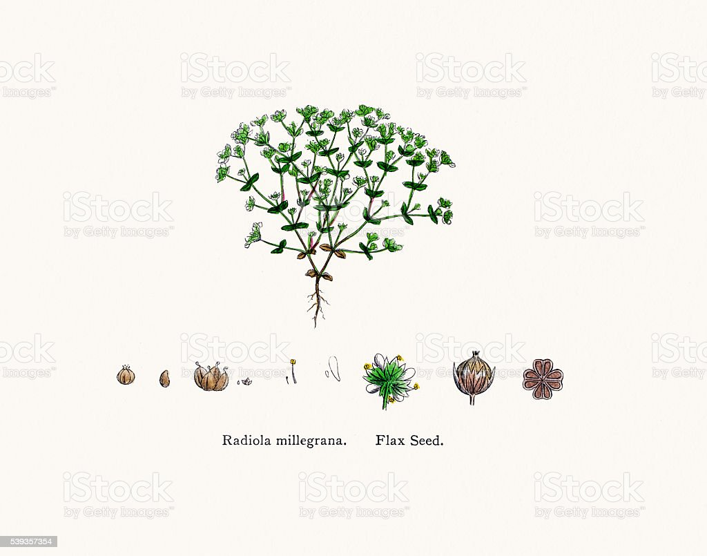 Flax plant used as nutritional supplement vector art illustration