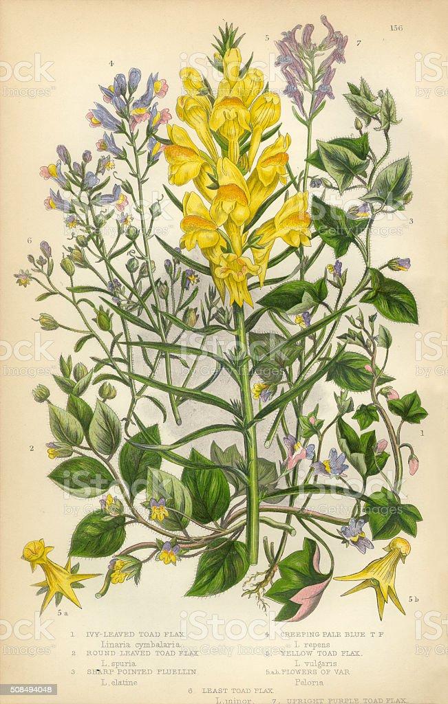 Flax, Toad Flax, Linaria, Fluellin, Victorian Botanical Illustration vector art illustration
