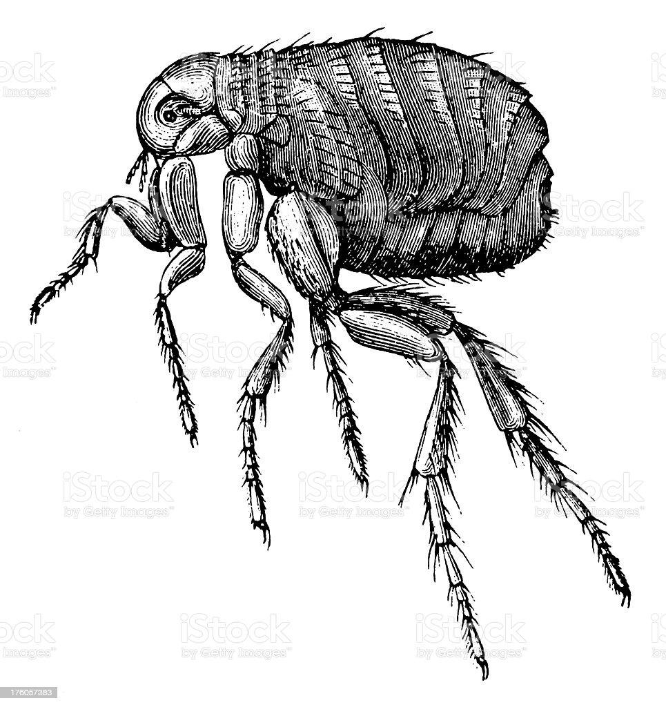 Flea   Antique Animal Illustrations vector art illustration