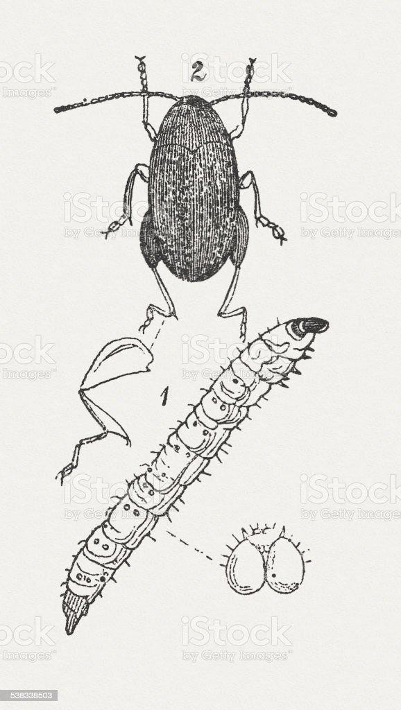 Flea beetle vector art illustration
