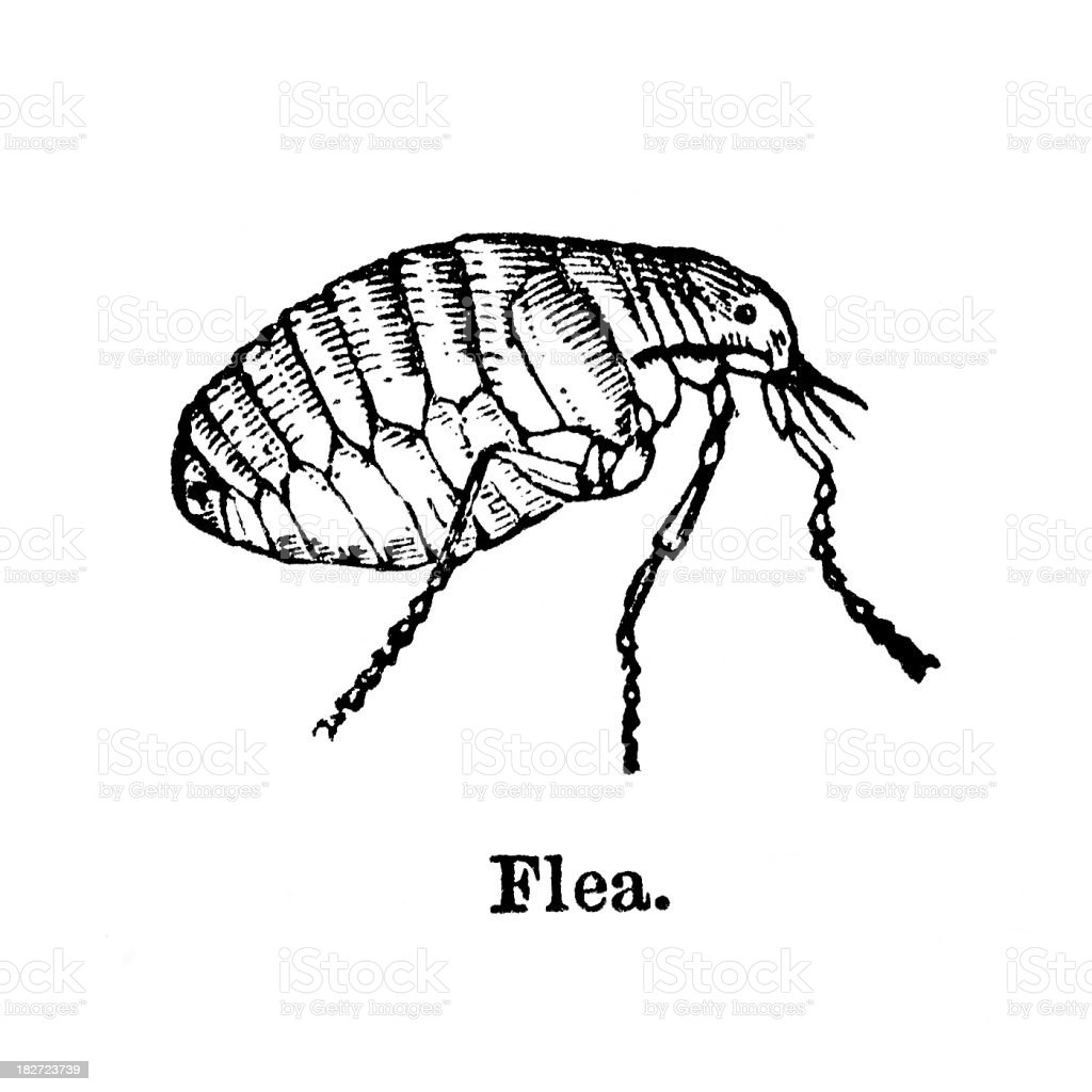 flea engraving royalty-free stock vector art