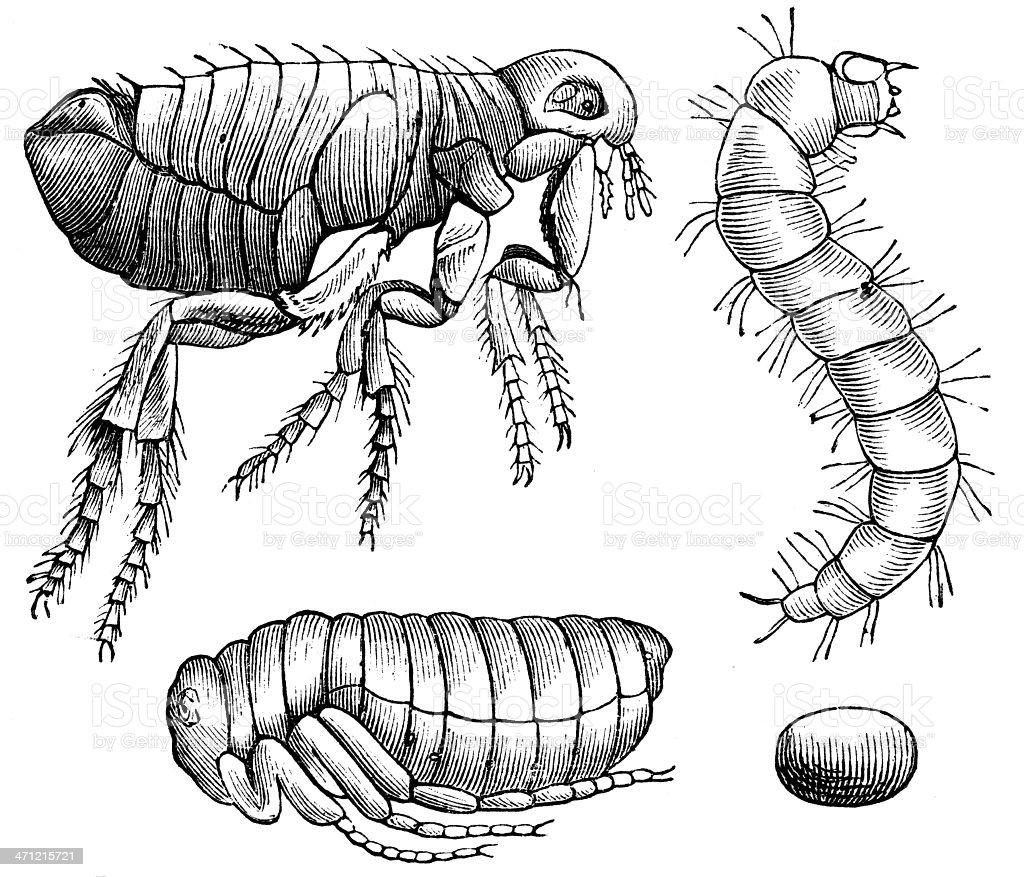 Flea vector art illustration