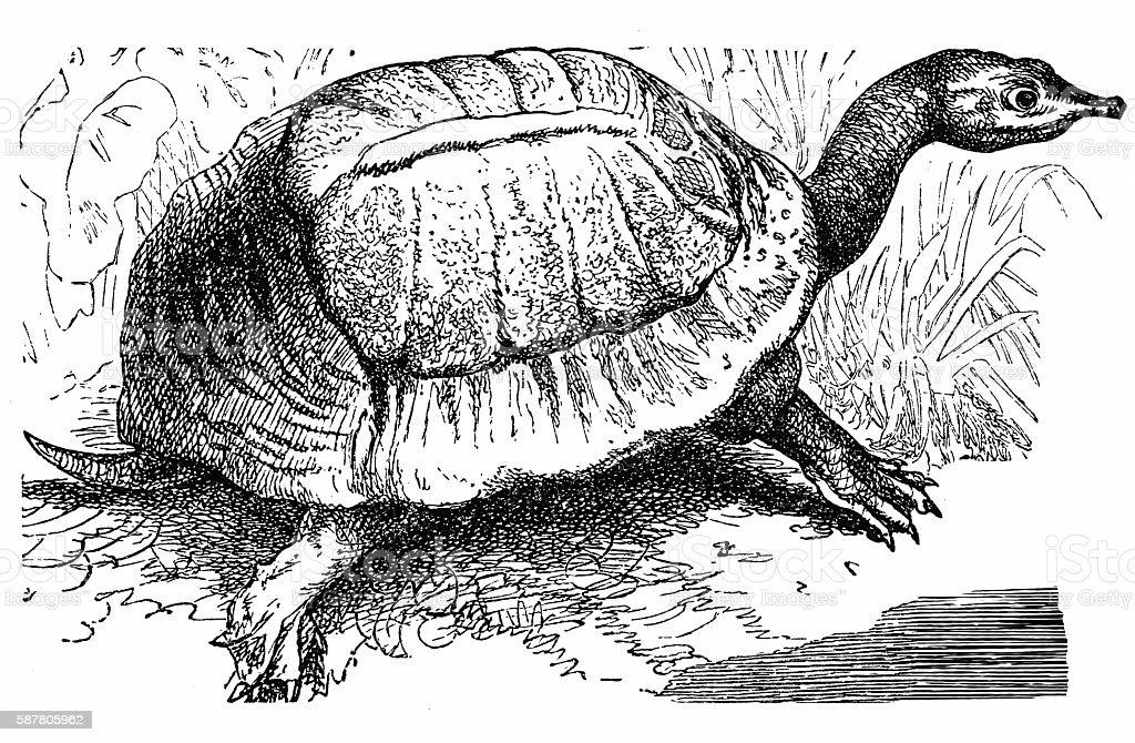 Florida softshell turtle - Apalone ferox vector art illustration
