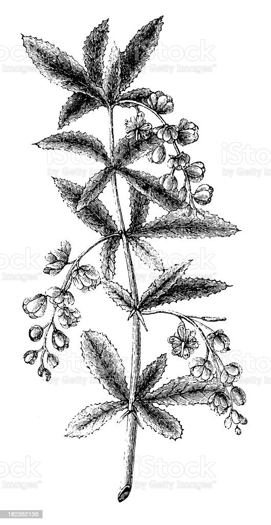 Flowers   Antique Botanical Illustrations royalty-free stock vector art
