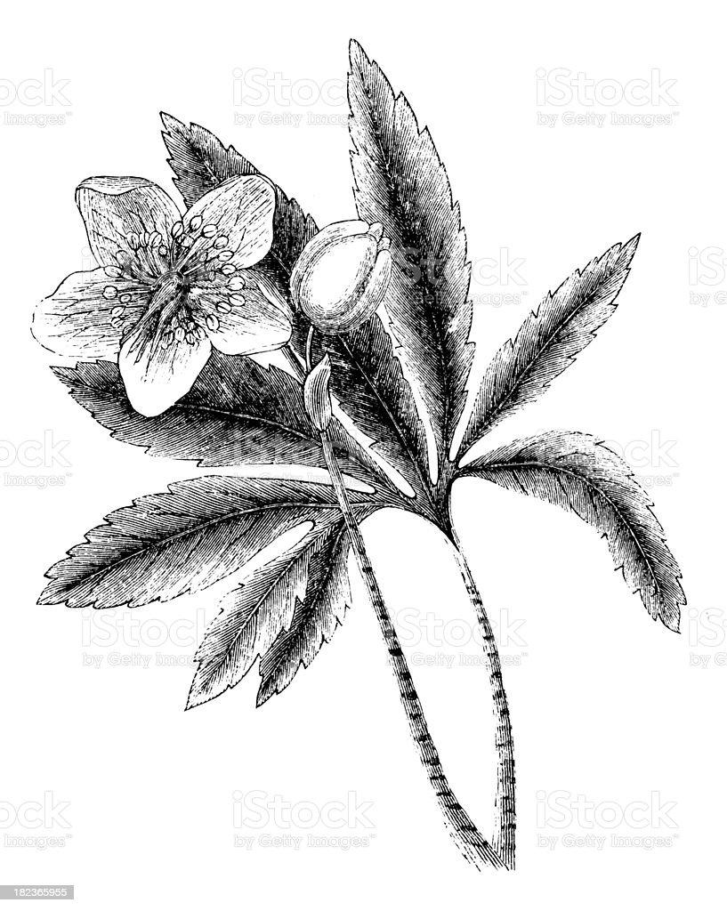 Flowers | Antique Botanical Illustrations royalty-free stock vector art