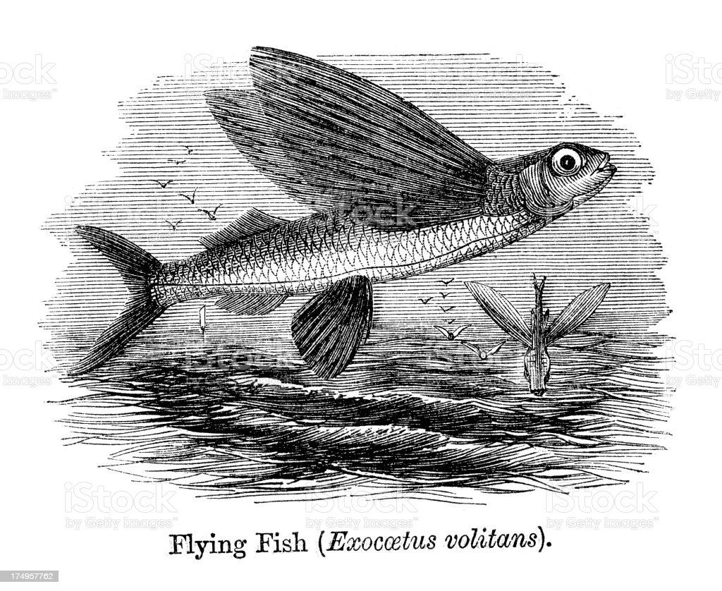 Flying Fish royalty-free stock vector art