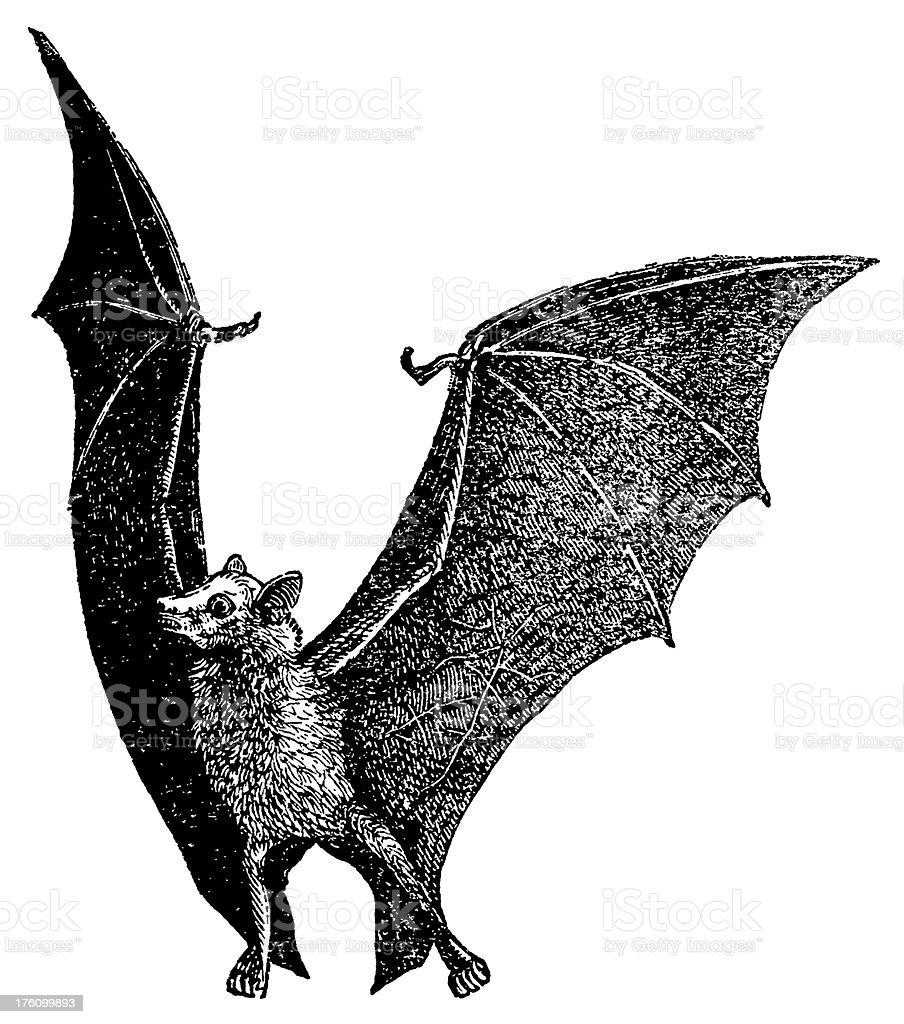 Flying fox | Antique Animal Illustrations vector art illustration