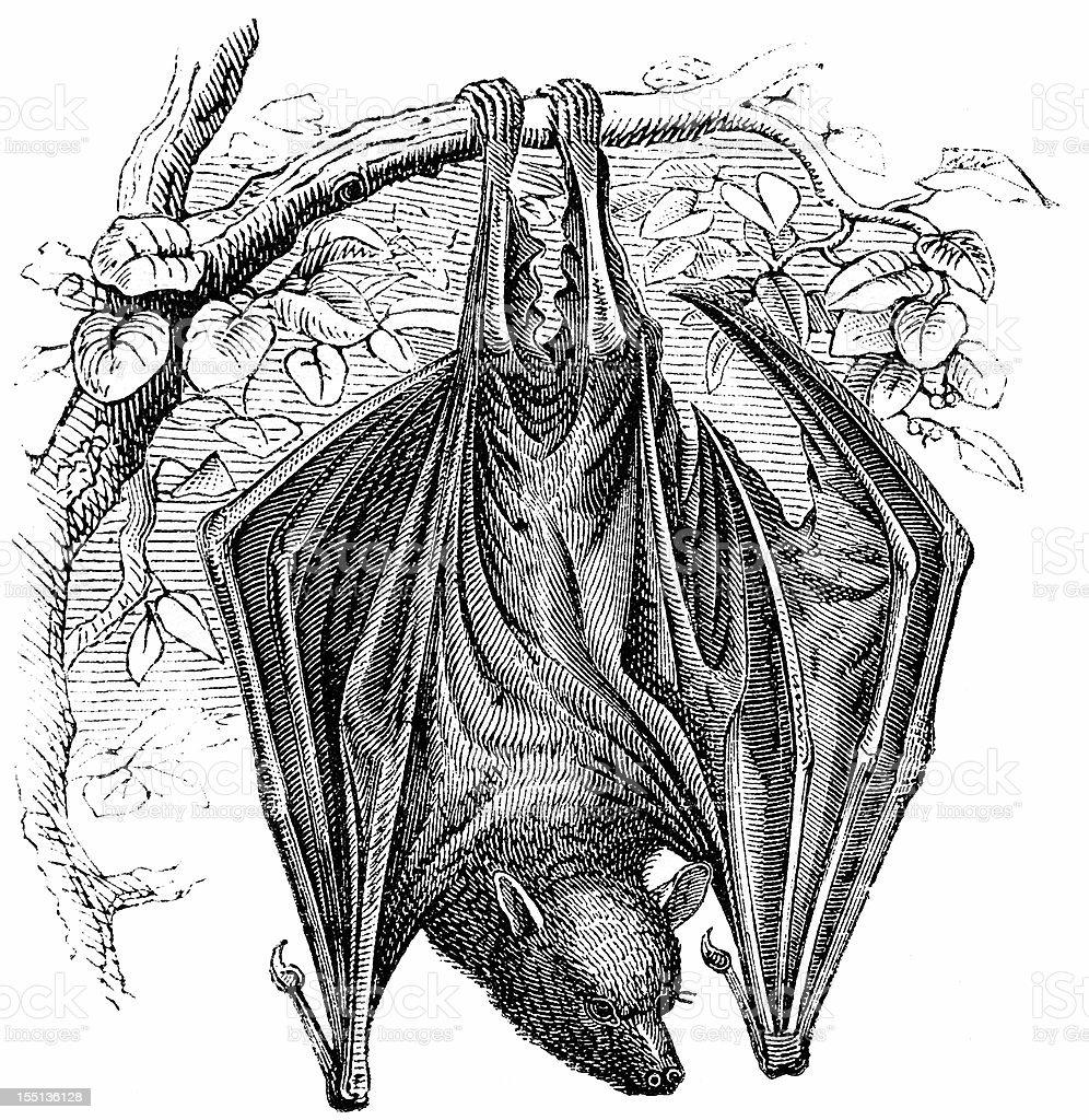 Flying Fox (Pteropus Edulis) royalty-free stock vector art