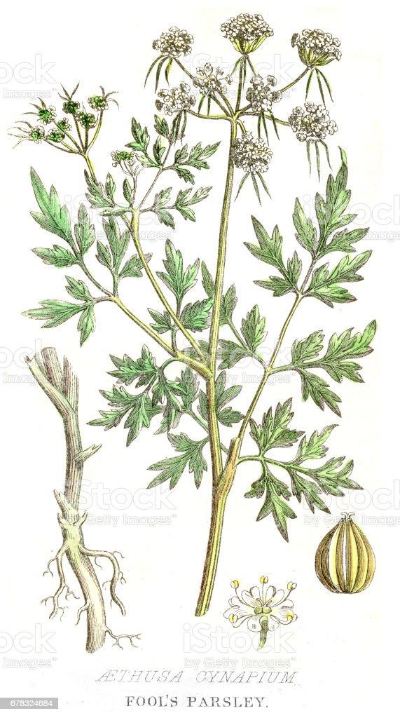Fools' parsley poison plant engraving 1857 vector art illustration