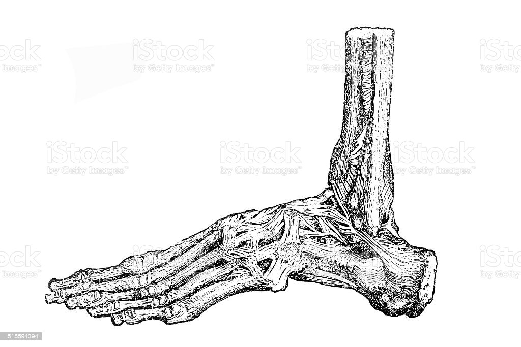 Foot bones vector art illustration