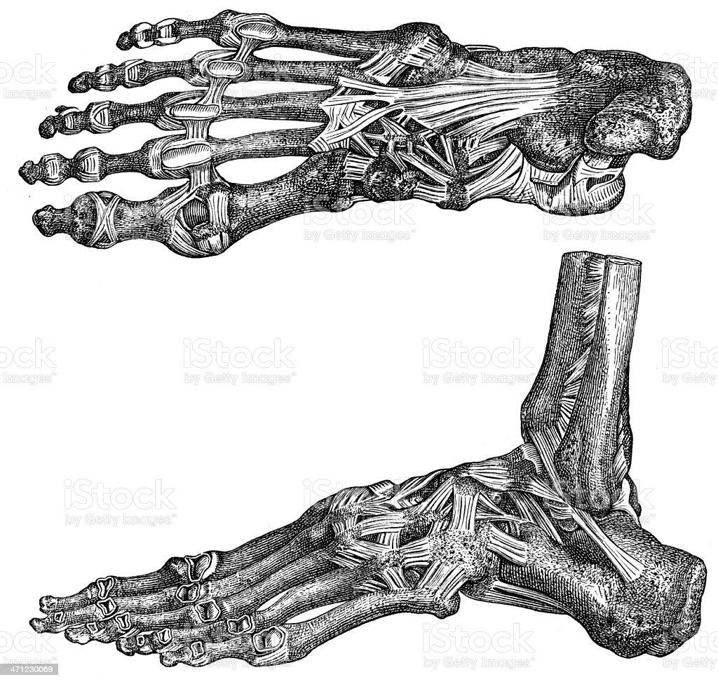foot vector art illustration
