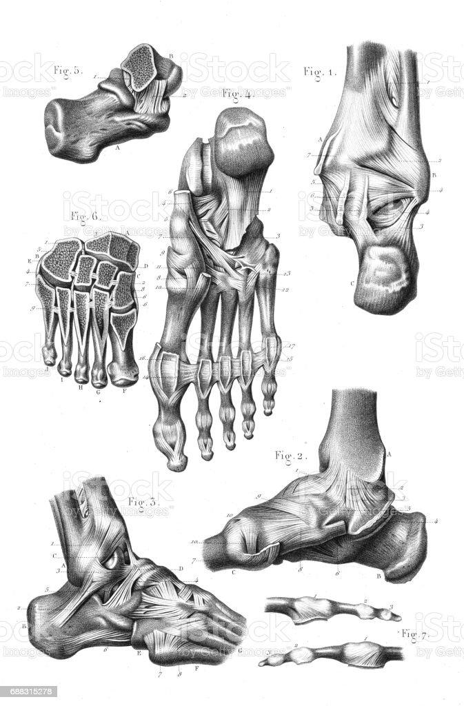 Foot joint anatomy engraving 1866 vector art illustration