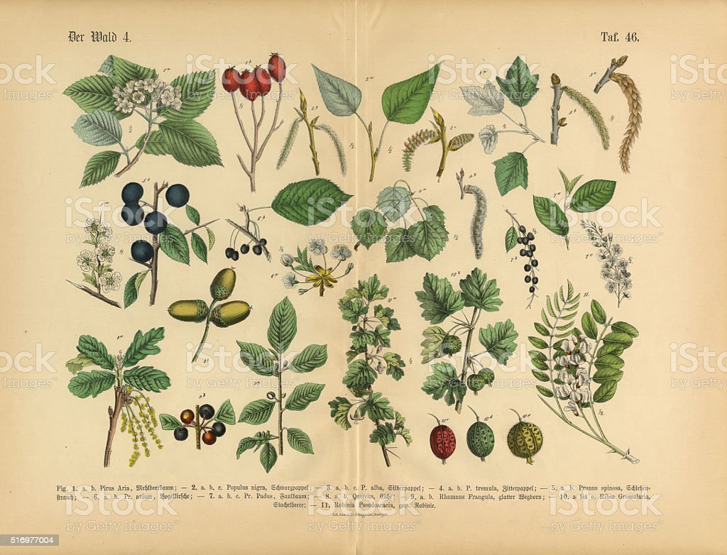 Forest and Fruit Trees and Plants, Victorian Botanical Illustration vector art illustration