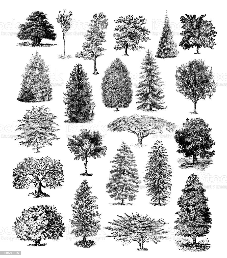 Forest Tree Illustrations | Vintage Nature Clipart vector art illustration