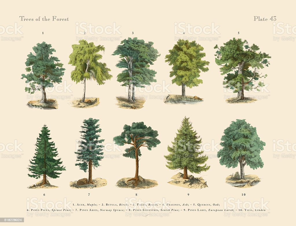 Forest Trees and Species, Victorian Botanical Illustration vector art illustration