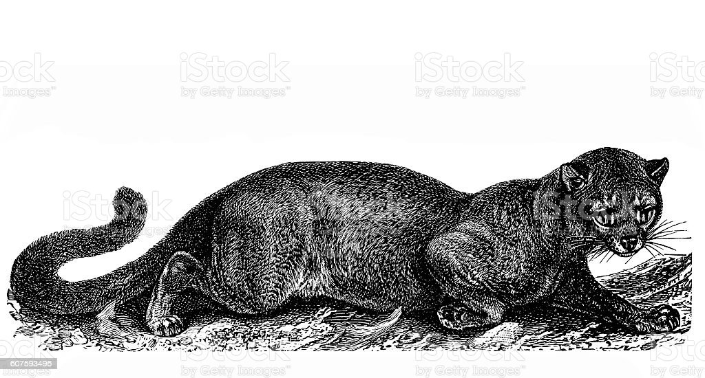 Fossa (Cryptoprocta ferox) vector art illustration