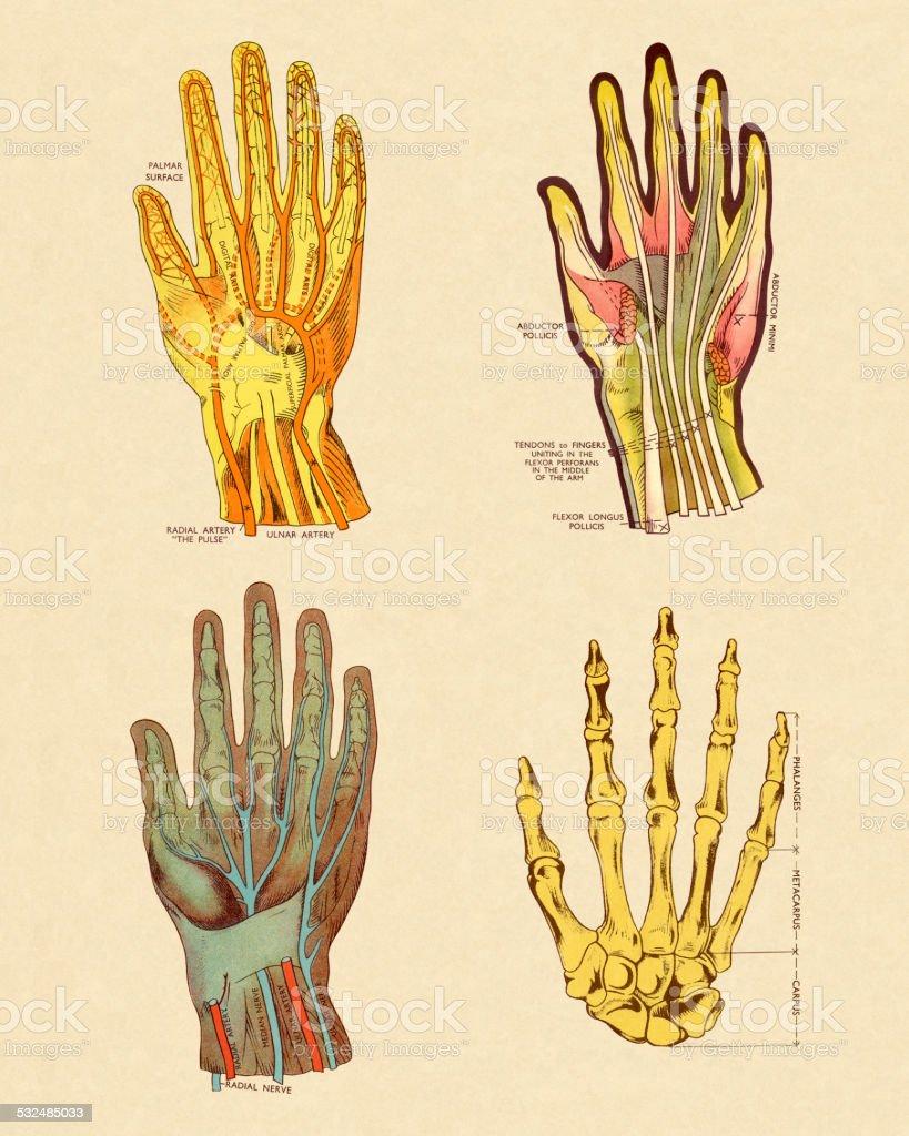 Four Views of Hand vector art illustration