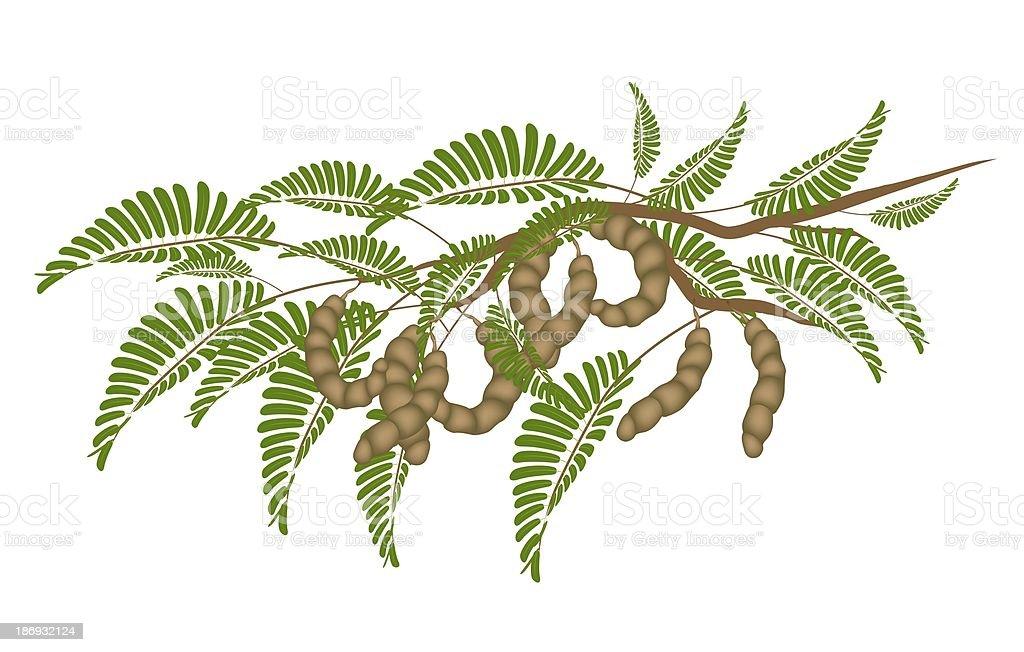 Fresh Brown Tamarind Pods on Tree Branch vector art illustration