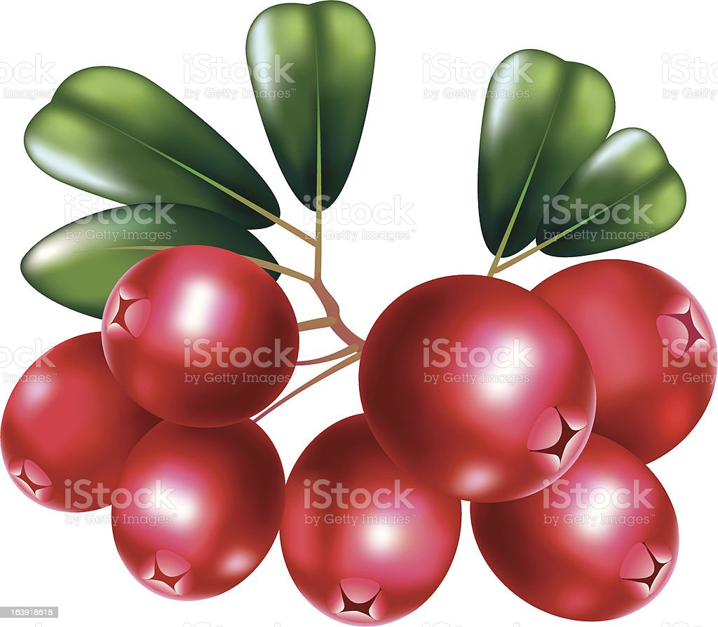 Fresh cranberry with branch vector art illustration
