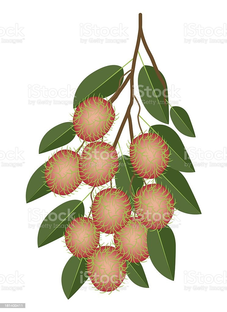 Fresh Juicy Rambutans on A Tree Branch royalty-free stock vector art