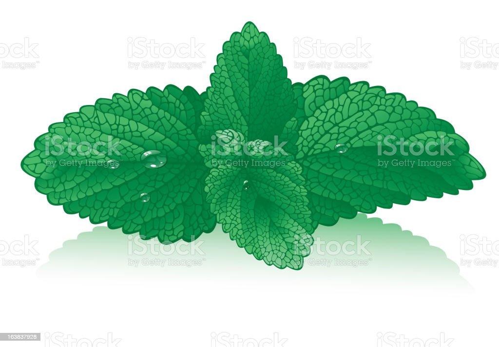 fresh mint leaves royalty-free stock vector art