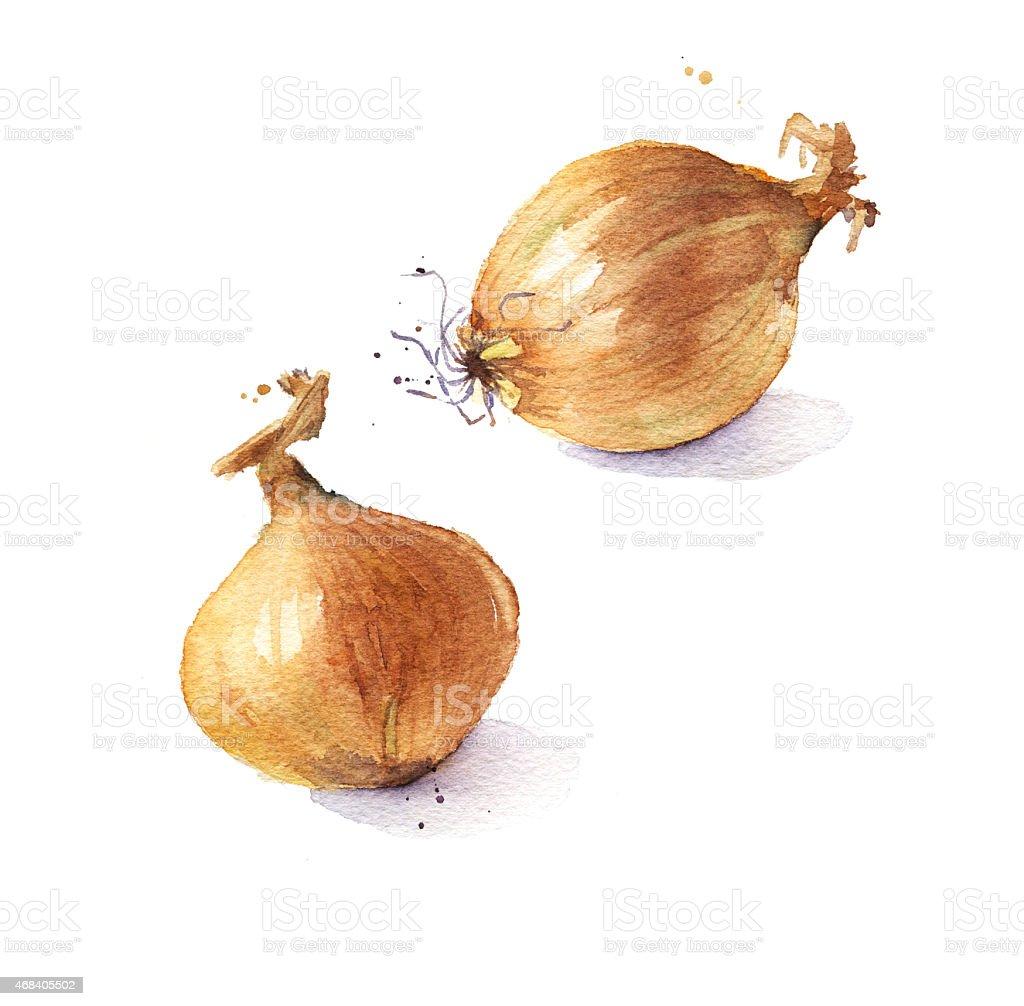 Fresh onion bulbs, watercolor illustration vector art illustration